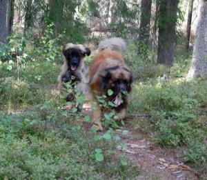 Två leonbergers i full fart